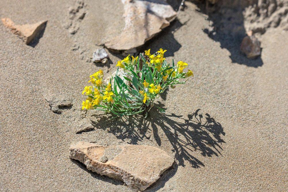 Badlands Flowers