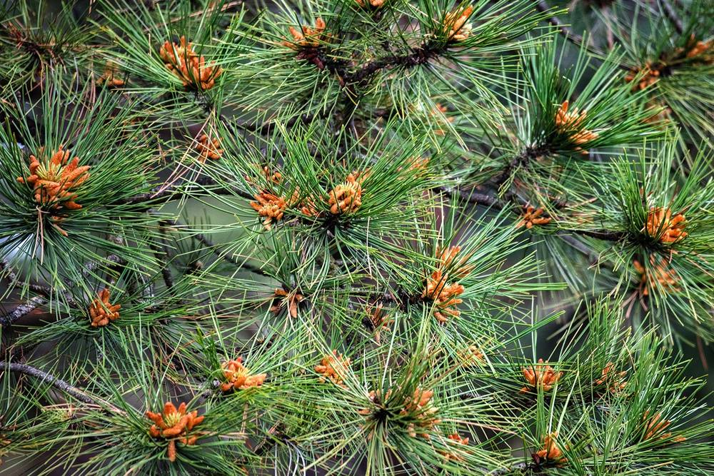 Pine Needles and Cones