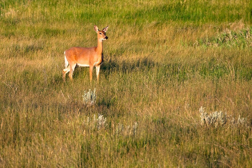 Medicine Rocks Deer