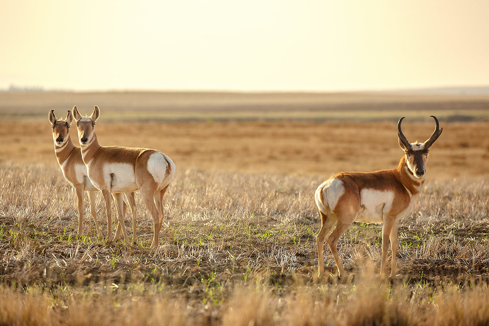 Pronghorn Pose