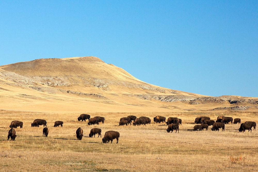 Great Plains Buffalo