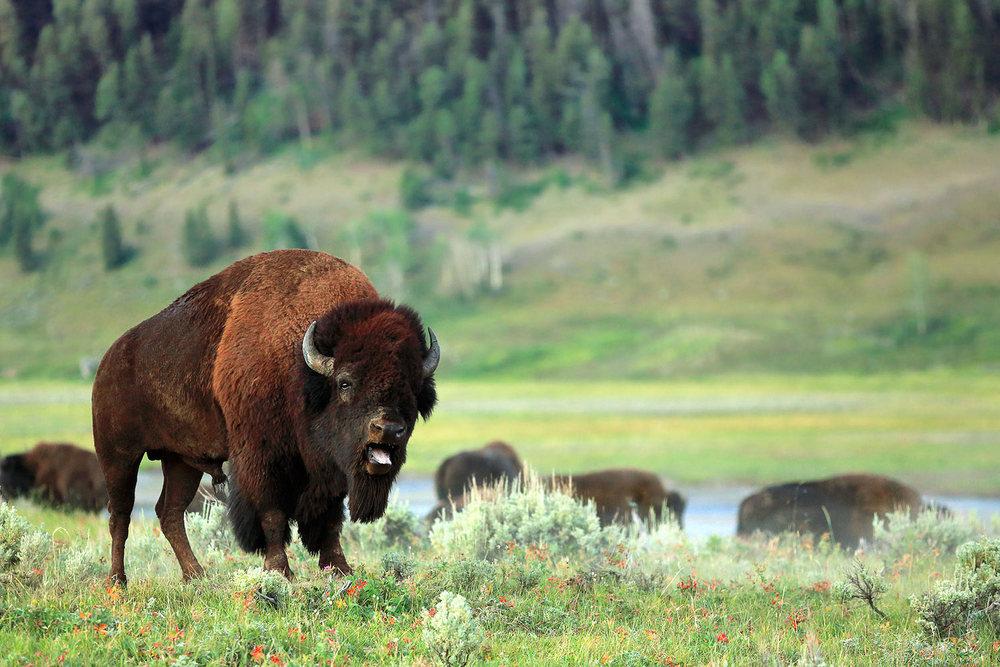 Buffalo Rut