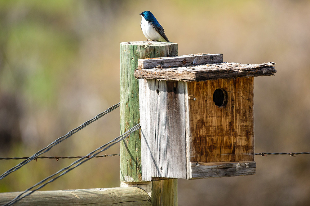 Meagher County Swallow