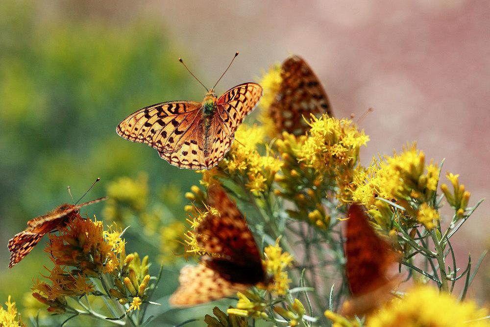 Newlan Butterflies