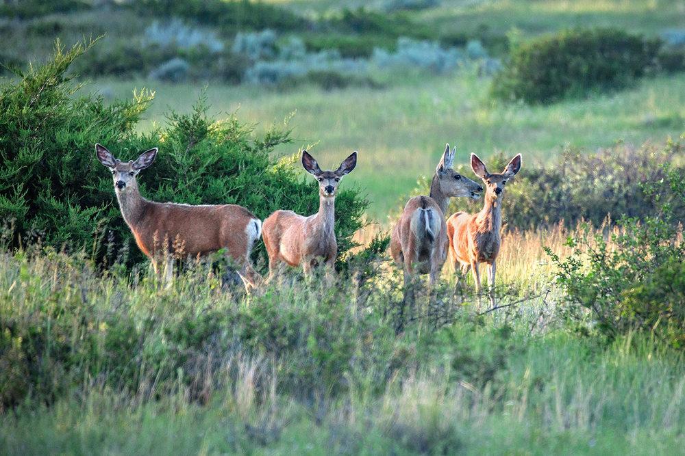 Herd of Muleys