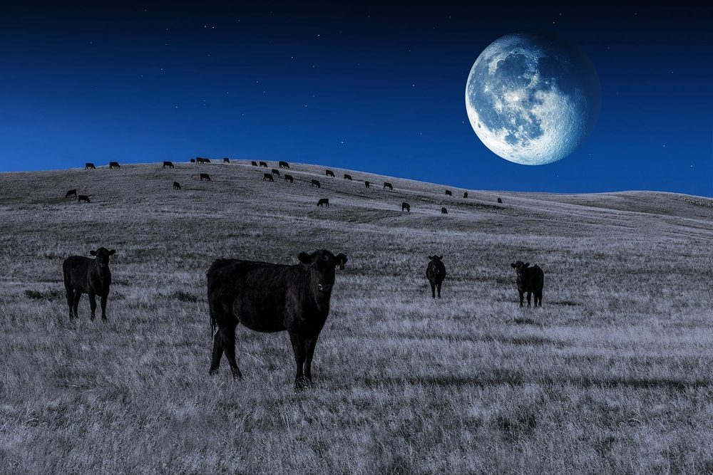 Black Angus Moon