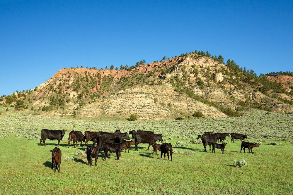 Angus at Cherry Butte