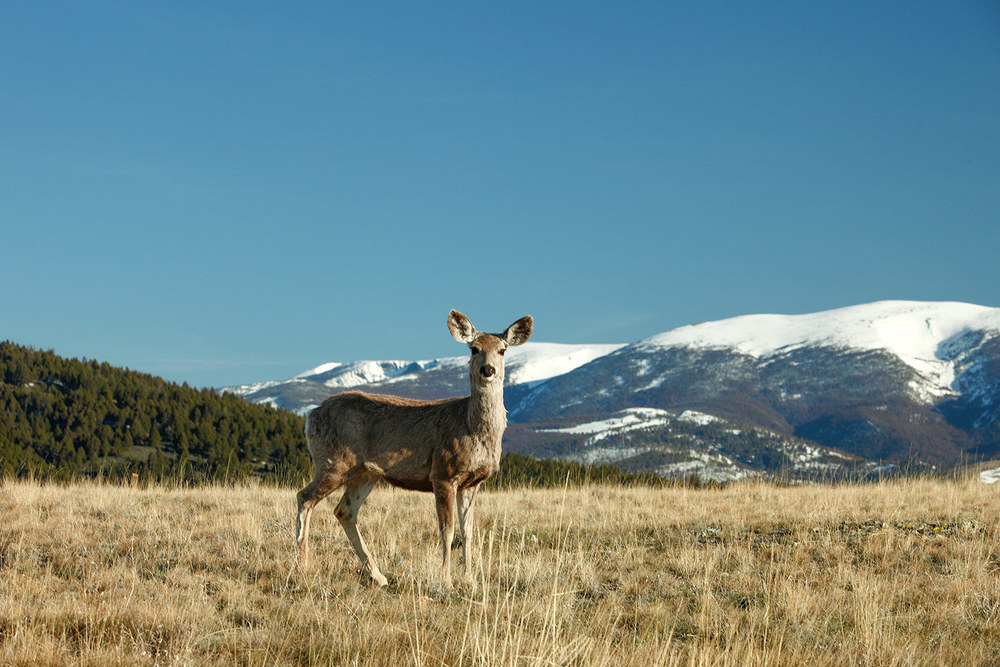 Grassy Mountain Deer