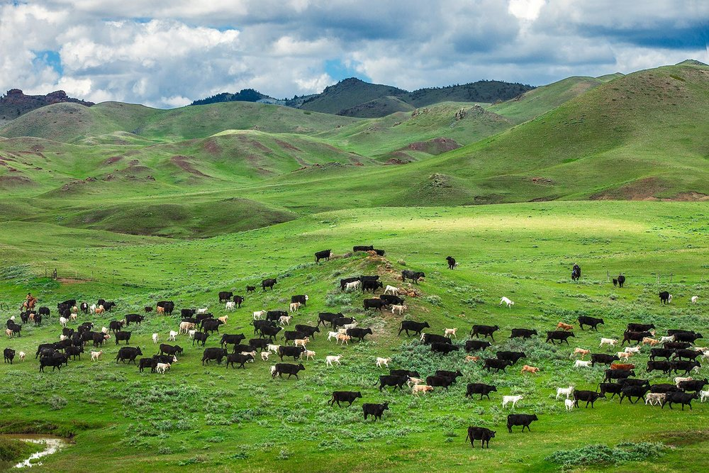 "This photo of a cattle roundup in the Bear Paw Mountains south of Chinook, Montana was named ""Photo of the Year"" by the American Agricultural Editor's Association (AAEA)."