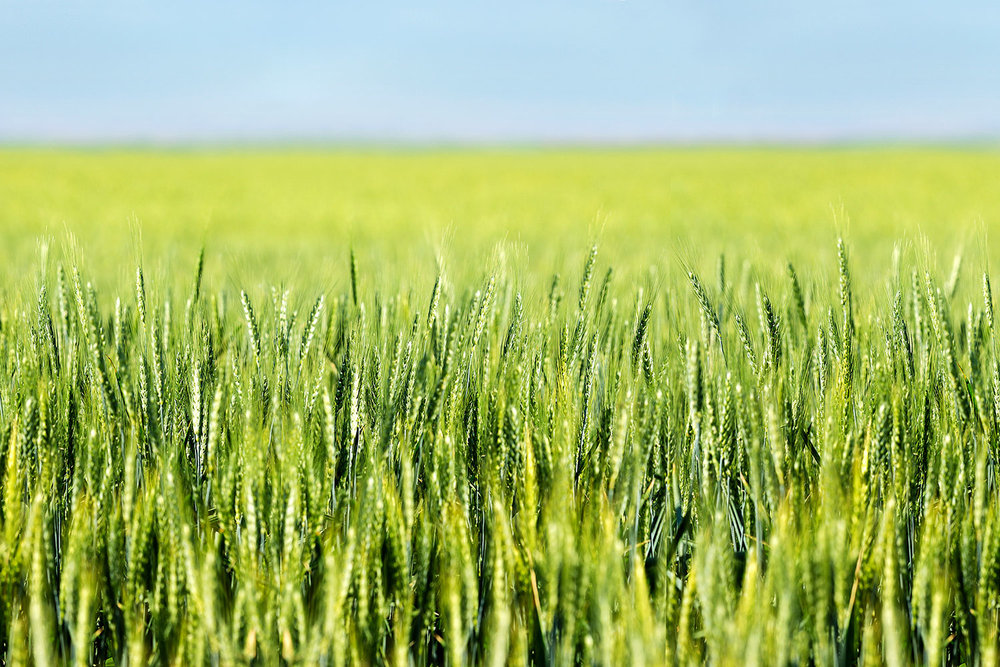 Wheat Ripening