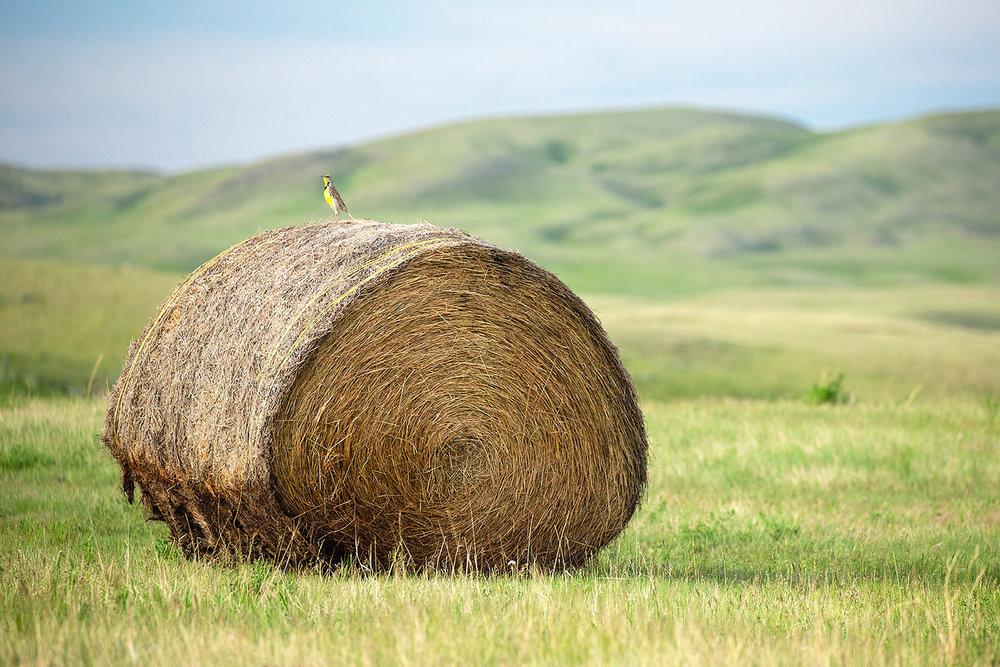Meadowlark Heaven
