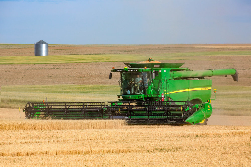 Cutting wheat north of Chinook, Montana.   → License Photo