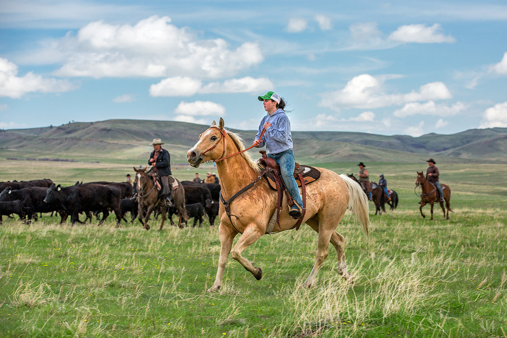 Cowgirl photo of a young woman riding along the side of the herd near Lloyd, Montana.