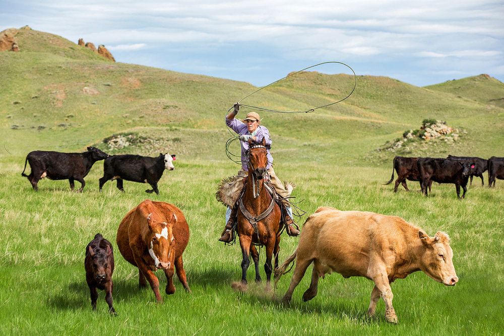 Bobbie Mitchell, a real cowgirl, is photographed here roping a calf at full speed, which snuck out from the corral on Birdtail Ranch near Cleveland, Montana.