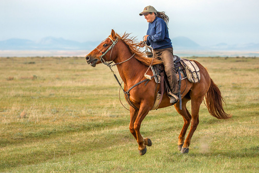 A photo of a cowgirl and also a rancher riding her quarter horse across the open plains after part of the herd that got away near Chinook, Montana.