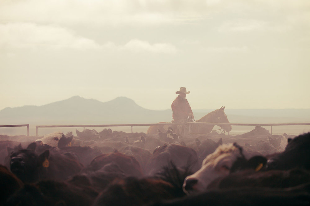 A cowboy rounds up cattle on a ranch near Cleveland, Montana. See more cowboy photos HERE.