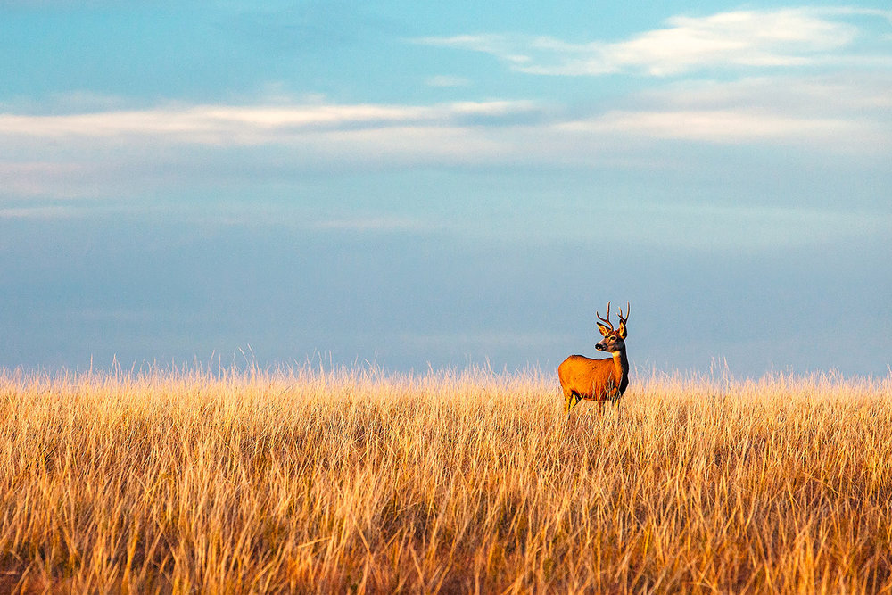 This photo of a deer looking into the setting sun on an autumn day near Fort Peck, Montana was donated to the Blaine County Wildlife Museum for its annual fundraiser auction. → Buy a Print or License Photo