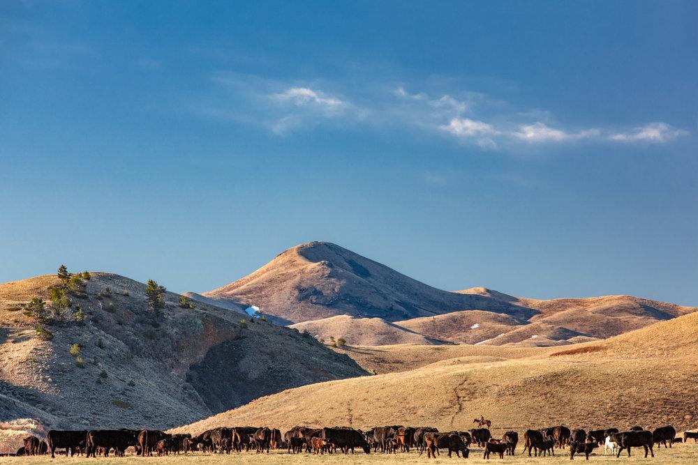 Bear Paw Cattle
