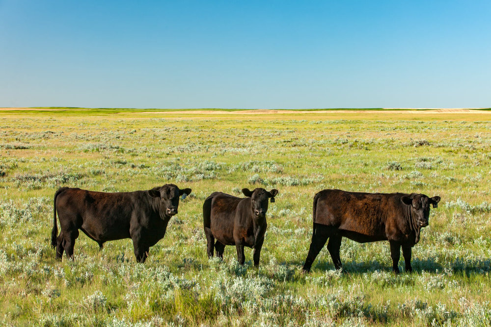 Three Cows in a Field