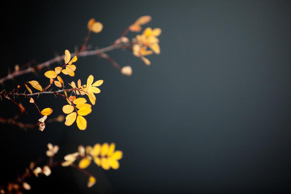 Brambled Autumn Leaves