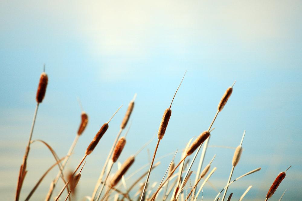 Row of Reeds