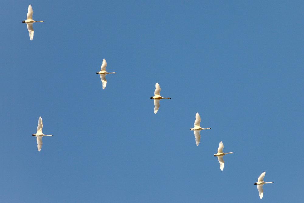 Swans on High