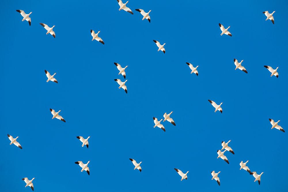 Polka Geese
