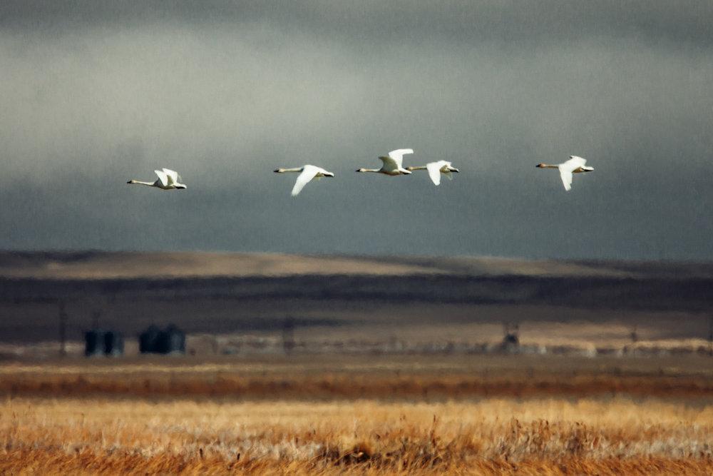 Whistling Swans