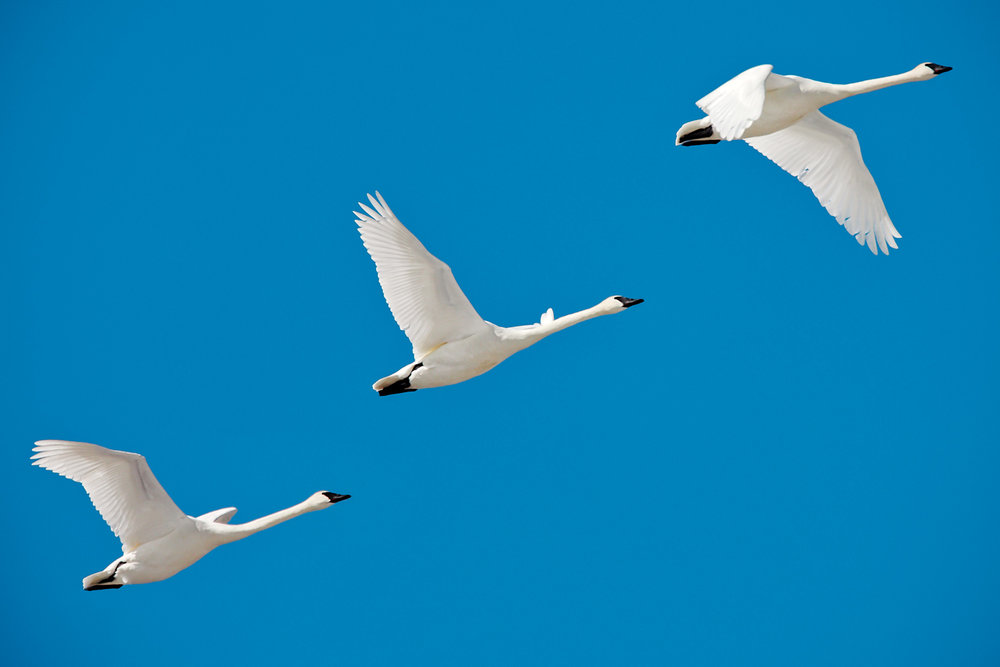 3 Montana Swans