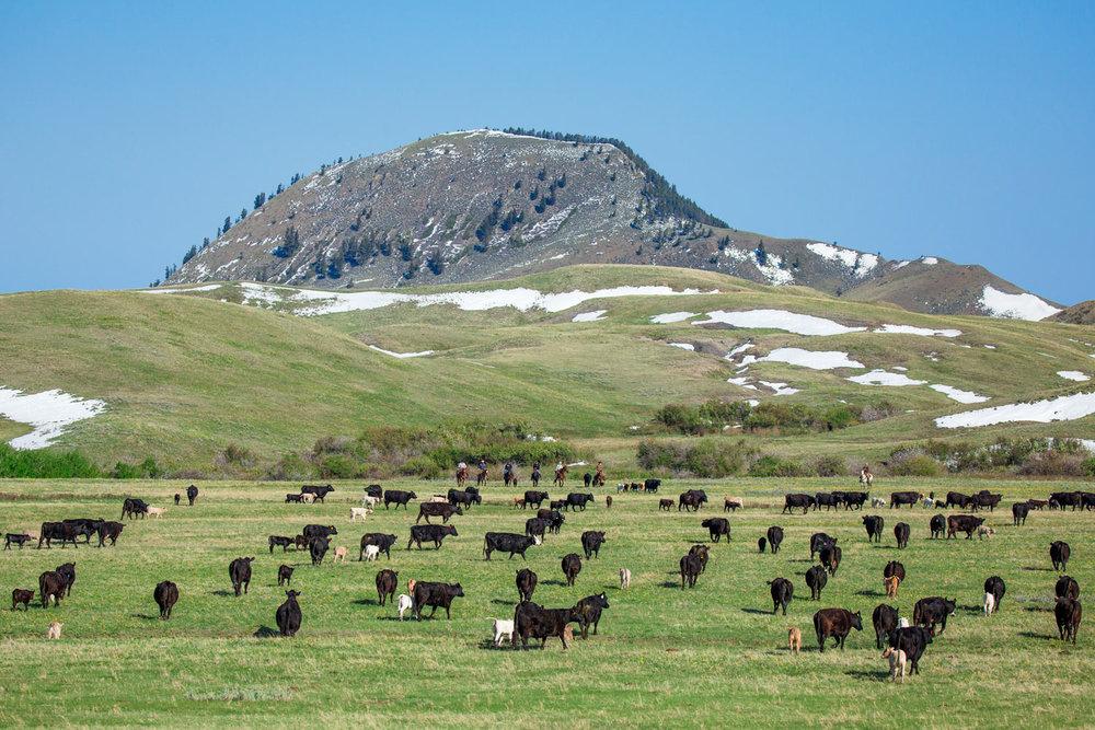 Alpine Cattle