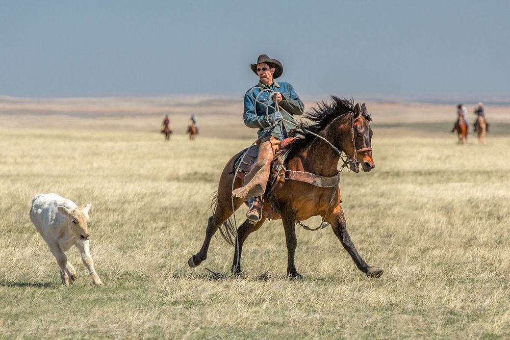 A cowboy and his horse stop on a dime as they chase after a Charolais calf that separated from the herd on the high plains near Cleveland, Montana.   → License Photo