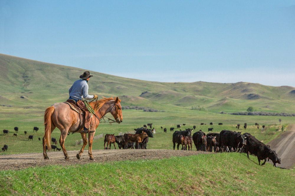 A cowboy pushing cattle down a gravel road during a roundup near Lloyd, Montana.   → License Photo