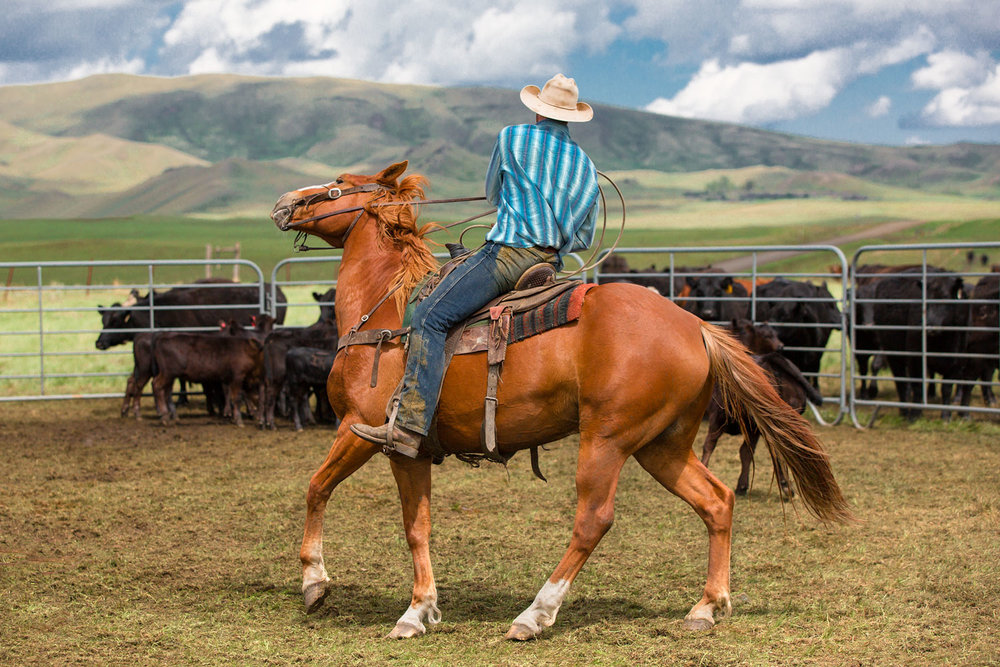 A cowboy makes a tight turn inside the corral near Lloyd, Montana. → Buy a Print or License Photo