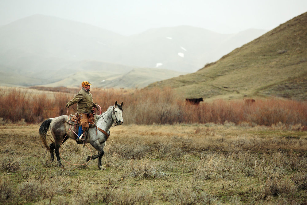 A cowboy searches for a calf that got away on a ranch near Cleveland, Montana.→ License Photo