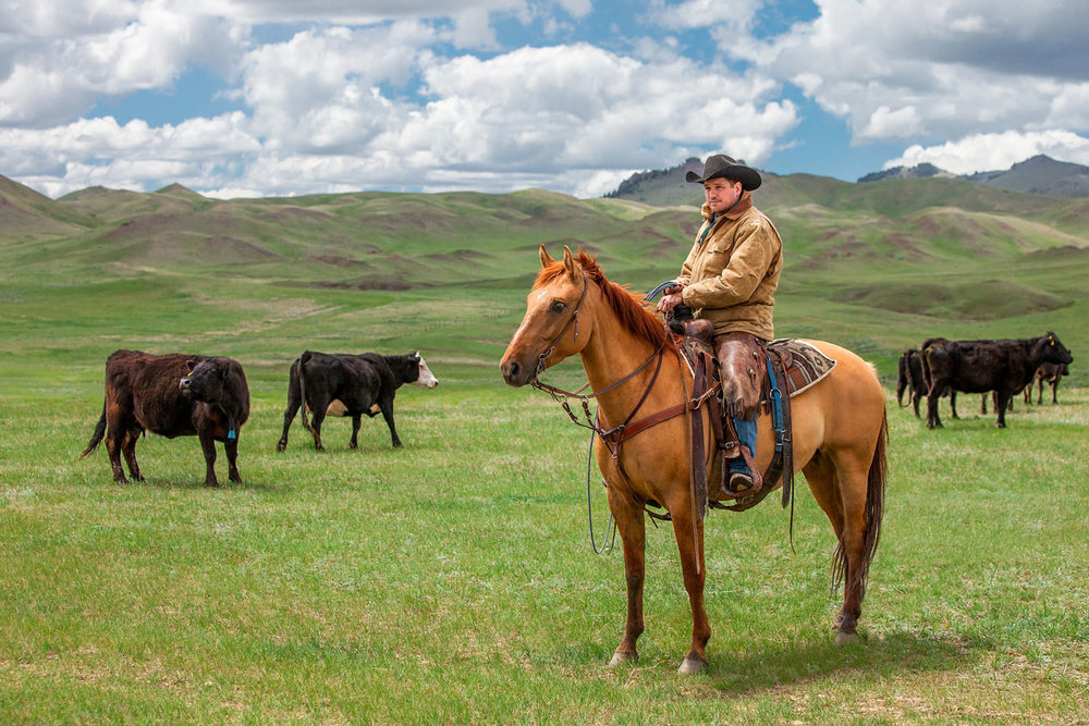 A cowboy watches over the herd on a ranch near Cleveland, Montana.   → License Photo