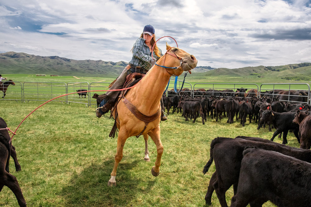 A cowgirl pulls back on the rope after roping a calf near Lloyd, Montana.   → License Photo