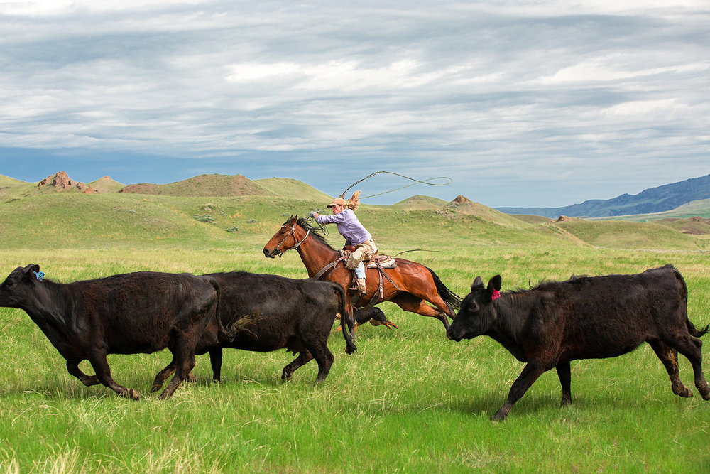 A cowgirl chases after an errant calf near Cleveland, Montana.   → License Photo