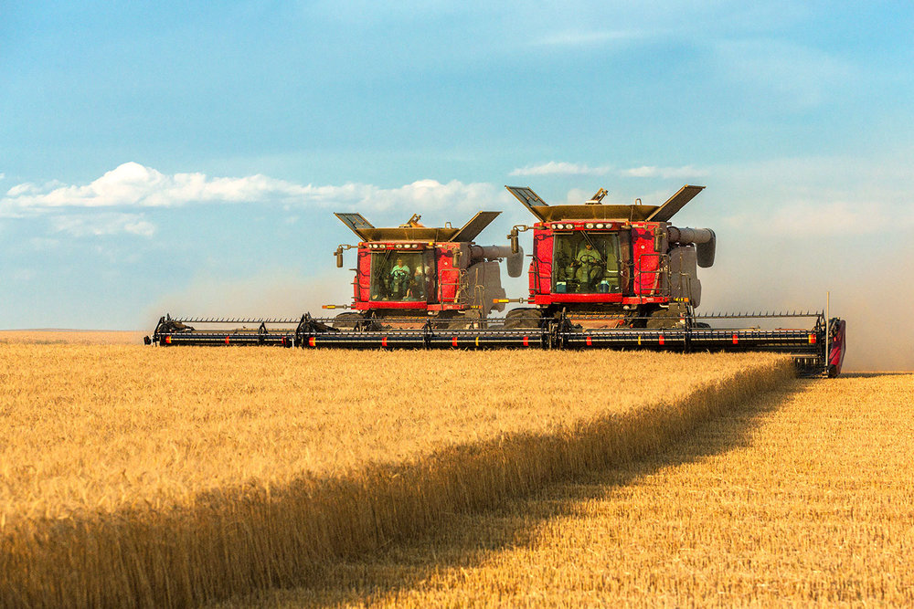Two large combines working side-by-side to cut a large field of ripe wheat north of Havre, Montana.   → Buy a Print   or   License Photo