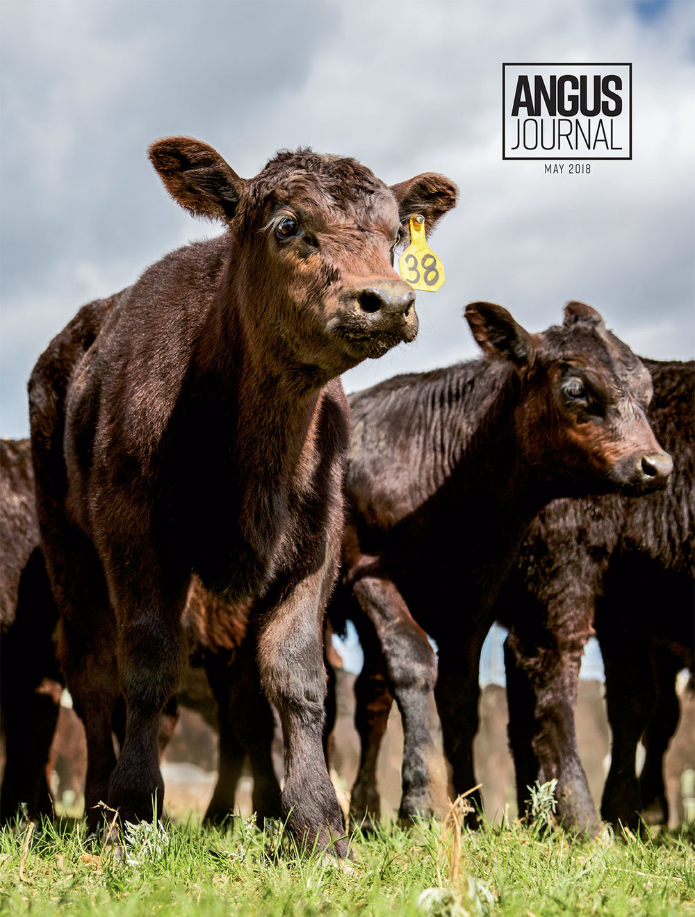 Photos of Black Angus Calves on Cover of Angus Journal
