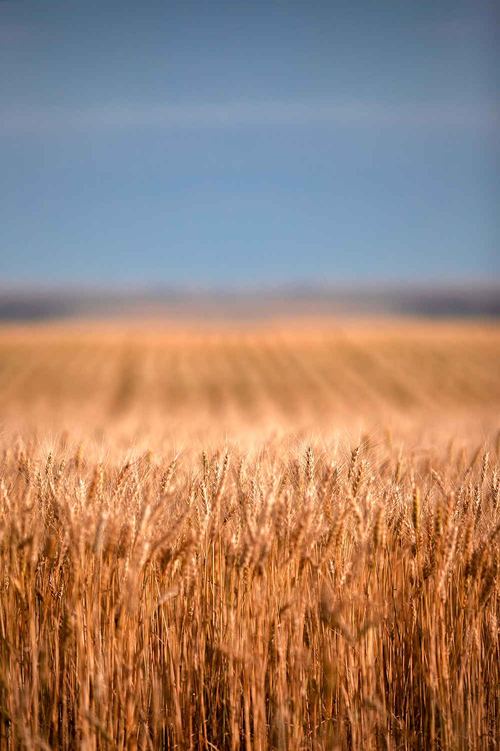 Long Wheat