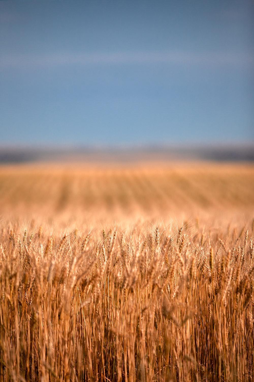 Long Wheat
