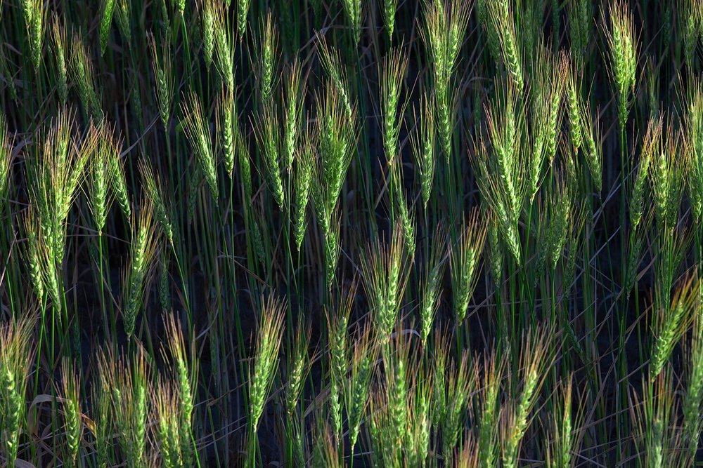 Heads of Green Wheat