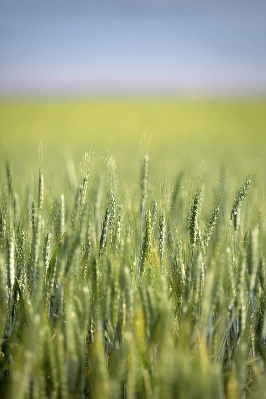 Vertical Green Wheat