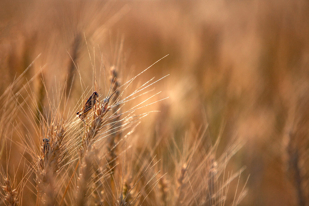 Grasshopper Wheat