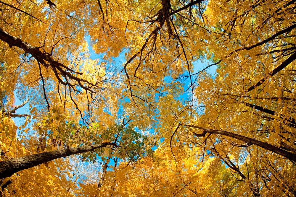 Yellow Autumn Canopy