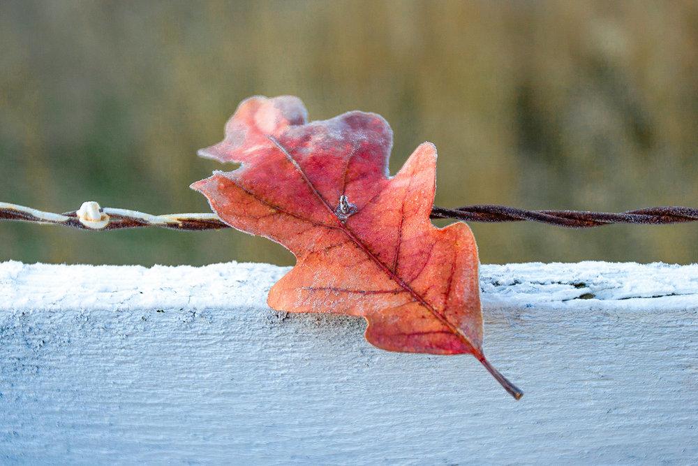 Stuck Leaf