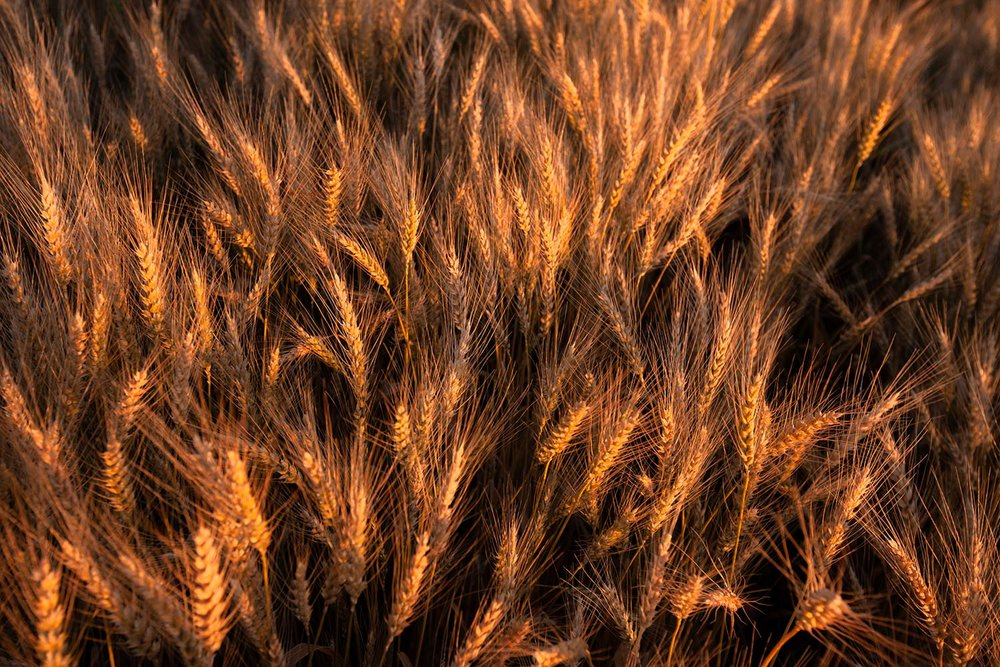 Amber Heads of Wheat