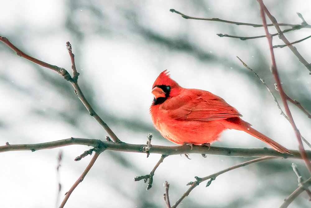 Cardinal and White