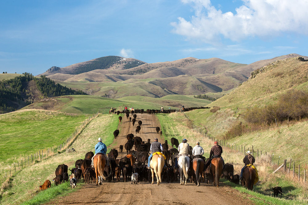 Clear Creek Cattle Drive
