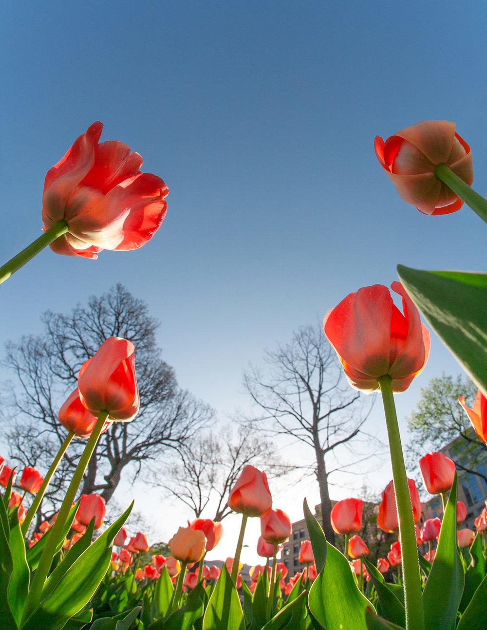 Capitol Tulip Tops